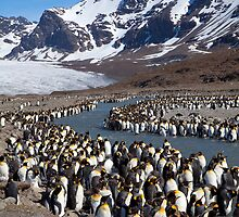 King Penguins, St Andrew's Bay, South Georgia Island by parischris