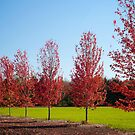 Line of Maples by Craig Higson-Smith