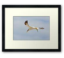 grace, gannet, Saltee Island, County Wexford, Ireland Framed Print