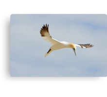 grace, gannet, Saltee Island, County Wexford, Ireland Canvas Print