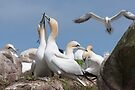 Gannets bonding, Saltee Islands, County Wexford, Ireland by Andrew Jones