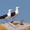 Black backed gulls and chicks, Saltee Island, County Wexford, Ireland by Andrew Jones