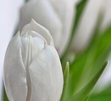 Fresh Tulips... by Bob Daalder