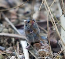 Tiny little harvest mouse by Martyn Franklin
