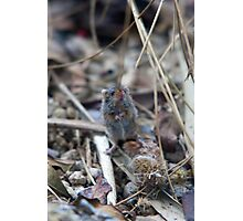 Tiny little harvest mouse Photographic Print