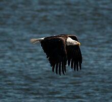 Eagle in Flight by RedOwlPhoto