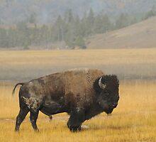 Buffalo in Yellowstone by RedOwlPhoto
