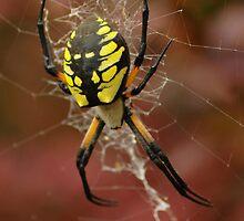 Black & Yellow Garden Spider by RedOwlPhoto