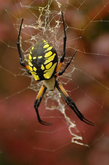 Black & Yellow Garden Spider by RedOwlPhoto