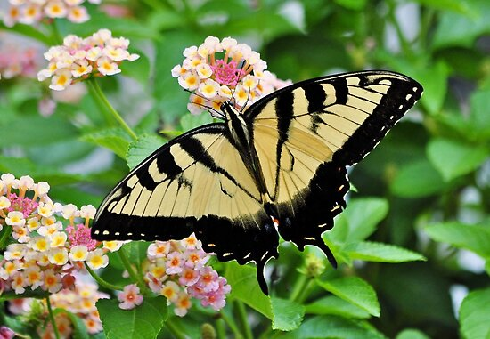 Tiger Swallowtail Butterfly On Pink Lantana by Kathy Baccari