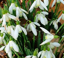 Snowdrops by Martina Fagan
