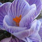 Crocus by Diana Landry