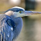 Heron Profile  by Monte Morton