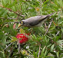 Noisy Miner and Bottlebrush by diggle