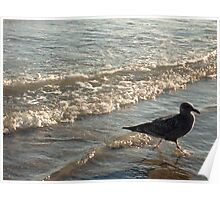 Gull Running In the Surf At Sunset Poster