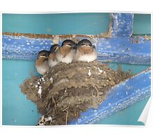 Swallows - all grown up and about to fly Poster