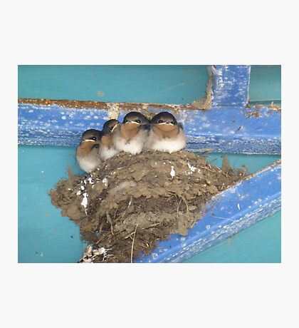 Swallows - all grown up and about to fly Photographic Print