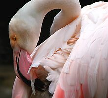 Greater Flamingo Preening by Carole-Anne