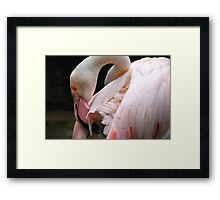 Greater Flamingo Preening Framed Print