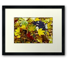 Top view of fallen autumn maple leaves Framed Print