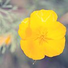 Soft Poppy by Josie Eldred