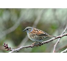 Dunnock Hedge Sparrow in Gore. South Island, New Zealand. Photographic Print