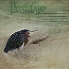 Green Heron Postcard by Lynn Starner