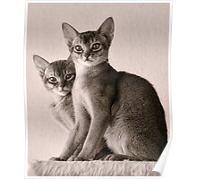 Abyssinian Kittens Poster