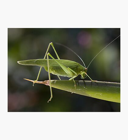 Tettigonia viridissima Photographic Print