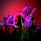 Wild Iris On Red by Charles & Patricia   Harkins ~ Picture Oregon