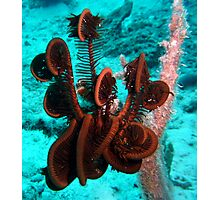 FEATHER STAR FISH Photographic Print