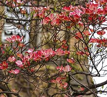 Pink Spring Dogwood by Georgia Mizuleva