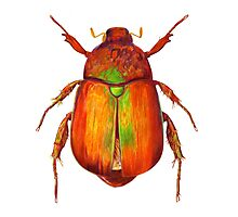 Iridescent Dune Chafer Beetle Photographic Print