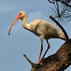 White Ibis In A Tall Pine by Kathy Baccari