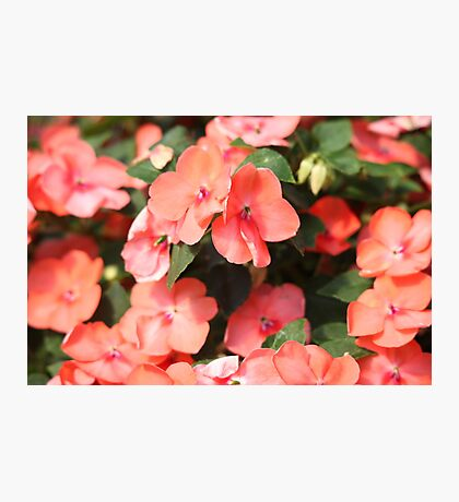 Peach Colored Flowers Photographic Print
