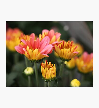 Yellow and Pink Flower Scene 7091 Photographic Print