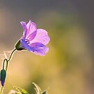 Rock Geranium by JEZ22