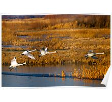 Tundra Swan Ballet Poster