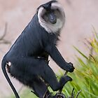 Lion Tailed Macaque by Robert Taylor