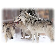 Who is the (Wolf)  Boss Photographic Print