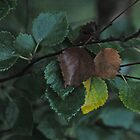 Morning leaves . by Brown Sugar. by © Andrzej Goszcz,M.D. Ph.D