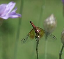 Meadowhawk in the Cupids Darts by Tracy Faught