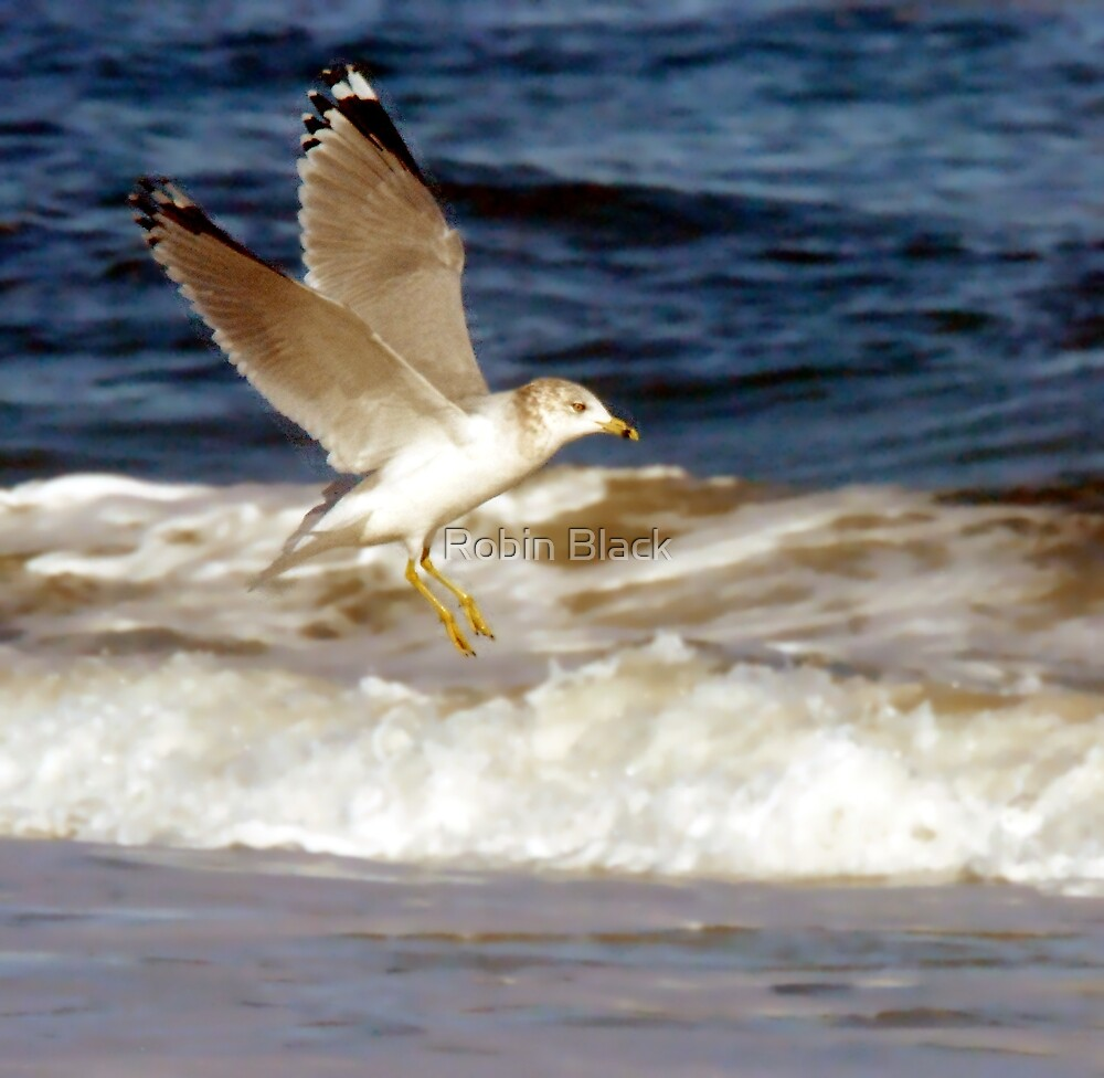 Seagull in Flight by Robin Lee