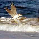 Seagull in Flight by Robin Lee