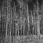 Winter Trees at Yellowstone by North22Gallery