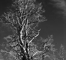Tree in Black and White at Yellowstone by North22Gallery