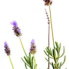 French Lavender by John Holding