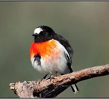 Rose robin. by Rick Hoult