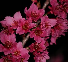 Night Blossoms by Bob Hardy