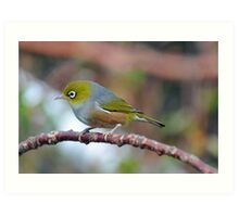 Silvereye. Gore, South Island, New Zealand. (2) Art Print
